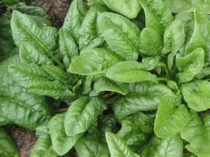 Самый лучший зеленый друг и овощ - шпинат Утеуша