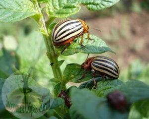 Атаками колорадского жука