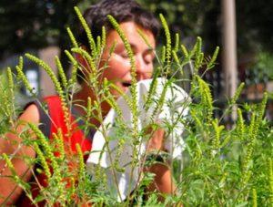 Аллергия на сорняк амброзии