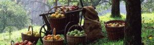 Cбор яблок поздних летних сортов