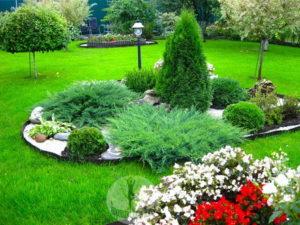 Выращиваем можжевельник на садовом участке