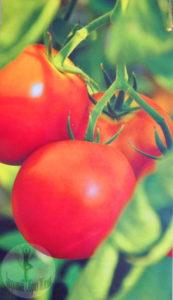 Синьор-помидор. Как правильно выращивать томат
